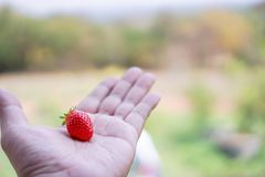 Strawberries on men`s hands, food concepts and fruits. Or make a. Background Royalty Free Stock Image
