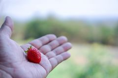 Strawberries on men& x27;s hands, food concepts and fruits. Or make a background Royalty Free Stock Image