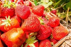 Strawberries natural background Stock Photo