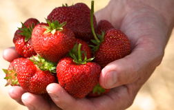 Strawberries  in NH in June ,fresh ! Royalty Free Stock Photography
