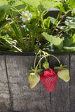 Strawberries in an Oak Barrel. Sunlight filters through leaves, highlighting ripening strawberries growing in an oak barrel Royalty Free Stock Photos
