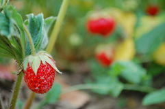 Strawberries. Photography of strawberries in the garden Royalty Free Stock Photography