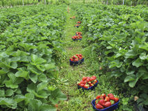 Strawberries picked in field Royalty Free Stock Image