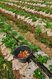 Strawberries picking Royalty Free Stock Photos