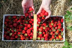 Strawberries picking to paper basket Stock Photography