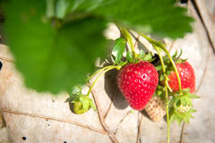 Strawberries on a plant Stock Photo