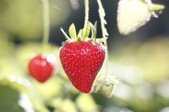 Strawberries in the plant royalty free stock image
