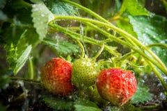 Strawberries plant in the rain stock photos