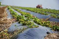 Strawberries plantation Stock Images