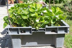 Free Strawberries Plants Growing In A Vegetable Garden Stock Image - 186027711