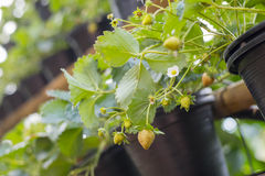 Strawberries plants in pot Stock Photography