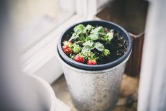 Strawberries in pot