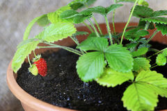 Strawberries in a pot bush royalty free stock photography