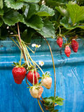 Strawberries in pot Royalty Free Stock Photo