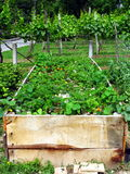 Strawberries in raised garden bed Royalty Free Stock Photos