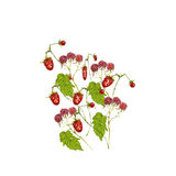 Strawberry and raspberry Royalty Free Stock Photo