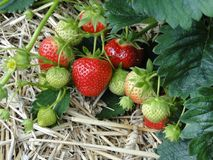 Strawberries, Red, Sweet, Plant Stock Image