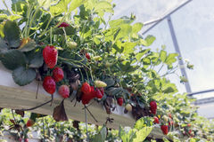 Strawberries ripe in the greenhouse royalty free stock photo