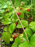 Wild strawberry - ripe juicy red bush stock images