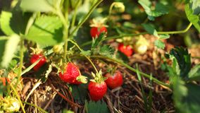 Strawberries almost ripe, some unripe, in the field farm, with s. Traw under, lit by early summer sun stock photography