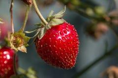 Strawberries Ripe in Sun Stock Image