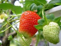 Strawberries almost ripe and unripe stock image