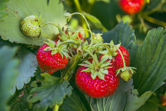 Strawberries ripening in a garden. Macro royalty free stock image