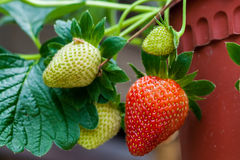 Strawberries at ripping stage Royalty Free Stock Photography