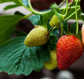 Strawberries at ripping stage Royalty Free Stock Photo