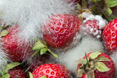 Strawberries Rotting with Fungus. Rotting strawberries with fungus growing Stock Images