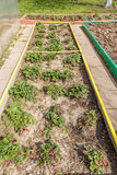 Strawberries in seedbed Stock Photos