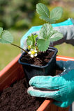 Strawberries seedling. Planting a strawberries seedling on a balcony Royalty Free Stock Photography