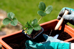 Strawberries seedling. Planting a strawberries seedling on a balcony Royalty Free Stock Image
