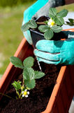 Strawberries seedling. Planting a strawberries seedling on a balcony Royalty Free Stock Images