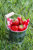 Strawberries in silver bucket standing on green lush grass Stock Image