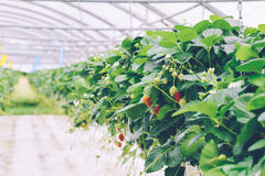 Strawberries soilless cultivation. Greenhouse soilless cultivation of strawberries stock photography