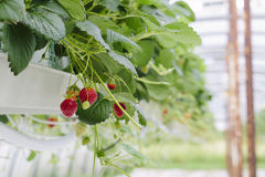 Strawberries soilless cultivation. Greenhouse soilless cultivation of strawberries stock images