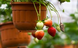 Strawberries. Some fresh and juicy strawberries growing stock photo