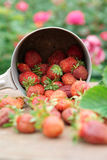 Strawberries spilled from a pot Royalty Free Stock Photography