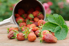 Strawberries spilled from a pot Royalty Free Stock Image