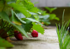 Strawberries in spring Stock Photos