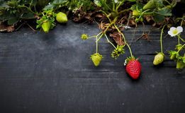 Strawberries on stone Stock Photography