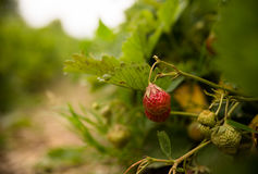 Strawberries on a strawberry plant on a strawberry plantation Royalty Free Stock Images