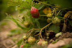 Strawberries on a strawberry plant on a strawberry plantation Royalty Free Stock Photo