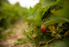 Strawberries on a strawberry plant on a strawberry plantation Stock Photos
