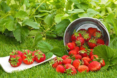Strawberries and strawberry plants. Strawberries with decorations on grass and strawberry plants stock image