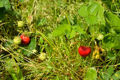 Strawberries. Strawberry plants in a field with fresh new fruit Stock Photos