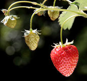 Strawberries in diferent stage of maduration Stock Photos