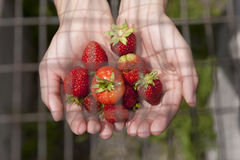 Strawberries under the wire. Royalty Free Stock Photography