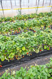 Strawberries undercover. Rows of strawberry plants growing undercover Stock Image